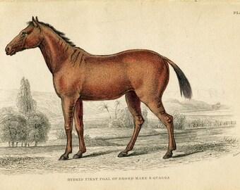 Antique Hand Coloured Bookplate Color Print Engraved Jardine 1840 Naturalists Mammalia Horses Foul Brood Mare & Quagga Plate 29