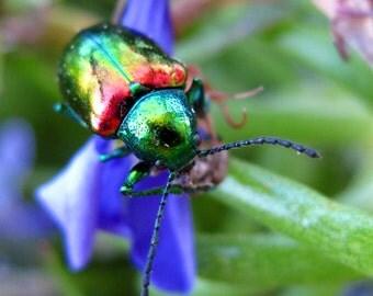 8X10 Dogbane Leaf Beetle Photo, Iridescent Tortoise Beetle, Bug Art, Photo Wall Art, Insect Specimen, Insect Art, Macro Photography, Lobelia