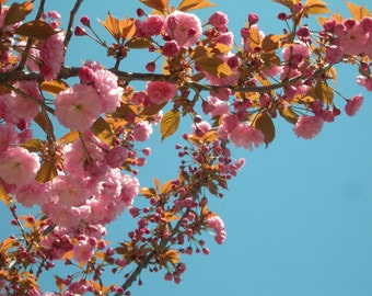 cherry blossoms photograph, instant download