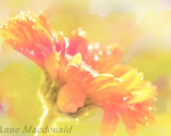 Gerbera,Orange Gerbera,Orange Flower,Gerbera Wall Art,Gerbera Room Decor,Gerbera Fine Art,Orange Gerbera Wall Art,Gerbera Image,Nature Art