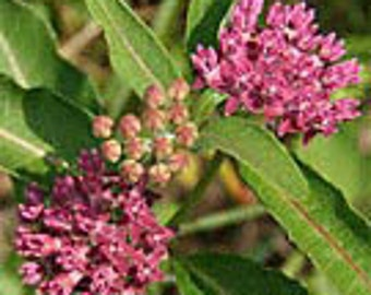 Feed the butterfly 6 Common Mikweed Butterfly weed beauty and help our butterflys eat... 6 Plants freshly dug beautiful flower free ship USA