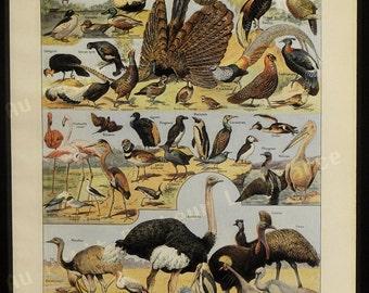 Print - Birds - French Illustration - 1949