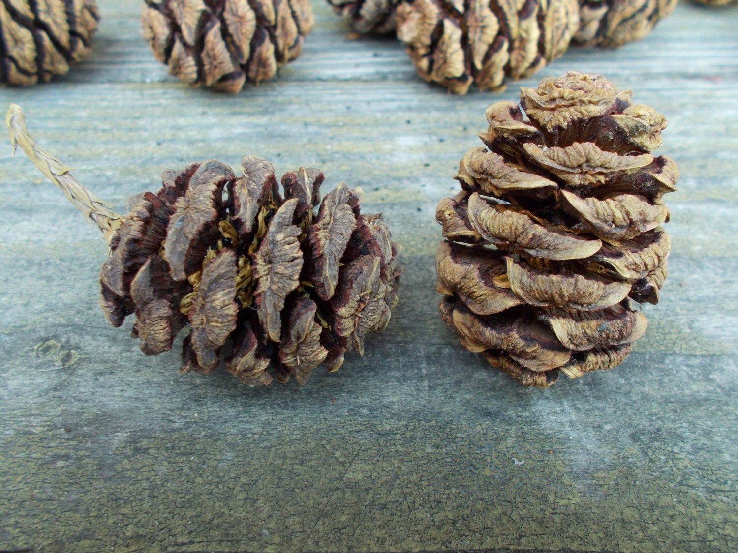 20 sequoia pinecones pine cones for pinecone wreaths for Large christmas pine cones