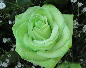 Green rose seeds, flowers,12,gardening, flower roses seeds,roses from seeds,planting roses,growing roses from seeds,seeds for roses
