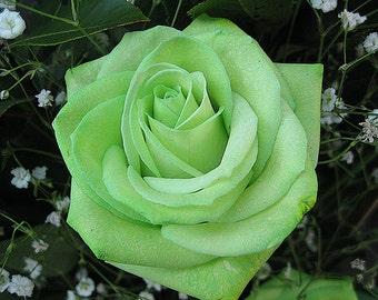 Green rose seeds, flowers,12,gardening, flower roses seeds,roses from seeds,planting roses,growing roses from seeds,seeds for roses
