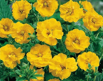 Geum Seeds - Avens Lady Stratheden,BRIGHT Yellow Perennial flowers