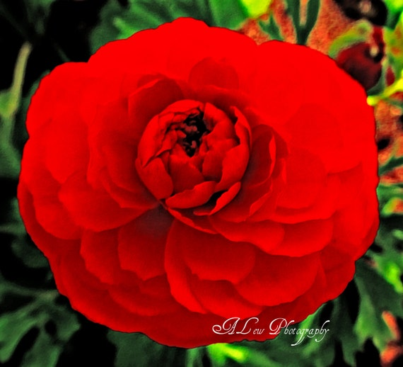 Ranuculus -  Photography Print, Nature Photography,  Fine Art. Flower Photography, Macro Photography, Red Flower