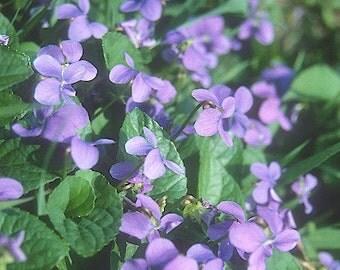 ON SALE Viola Sororia (Violet) Plant 2015 Seeds