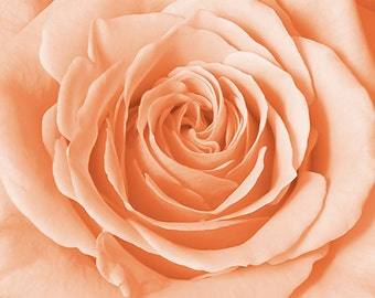 Square Close-up Pink Rose Photo Print