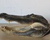 Massive Alligator Head - Vintage Taxidermy - Florida Everglades - Oddity