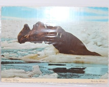 Alaskan Walrus Color Post Card, Bering Sea, Alaska, Memento, Souvenir, vintage keepsake, vintage paper ephemera, collectible souvenir
