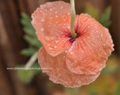 Photo of a drooping orange poppy flower covered in raindrops