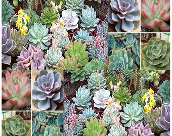 20 x Desert Rose Mix - Echeveria Species Mix - Excellent Indoor House Plants - SUCCULENTS SEEDS - Gorgeous Array Of Colors