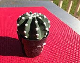 Small Cactus Plant. Dominos Cactus.