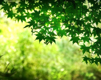 Nature Photography.  Leaf and Tree Photography.  Spring and Summer Photography. 8x12 Print