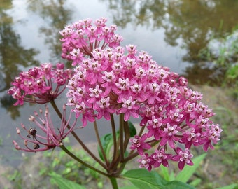 2 Swamp Milkweed ~BUTTERFLIES!!! ~Naturalize~ Pond/Bog/Water garden Plants