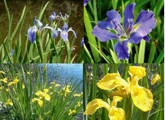 Mixed colors flag iris 2 live plants sprouted by for Pond plants that survive winter