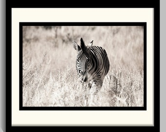Photograph - Zebra in the Wild - front view