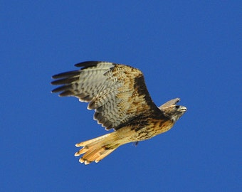 Red Tail Hawk. Red Tail Hawk Flying