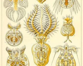Ernst Haeckel Botanical Print - Nature Art Rotatoria