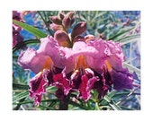 These select hand picked Desert Willow seeds are home grown on our Desert Ranch in South West Arizona. We supply at least 50 Seeds per order
