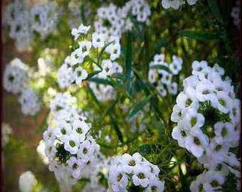Sweet Alyssum Flower Seeds (Lobularia Maritima Benthamii) 200+Seeds