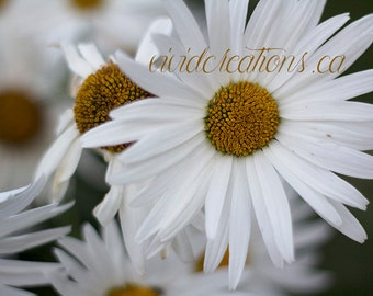 Daisy Photograph Print, Fine Art Photography, Nature Photography, Flowers