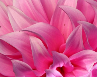 Pink dahlia flower close up flower photography, floral, nature photography, fine art photography, spring flowers, nursery, decor, bedroom..