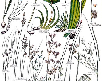 1965 Botanical Print - Meadow Saffron, Herb Paris, Toad Rush, Bog Asphodel - British Flowers Vintage Book Plate P87