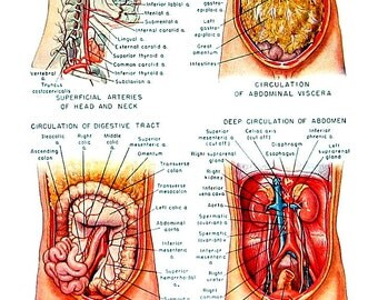 Human Arteries - Human Anatomy Chart - 1949 Vintage Book Page