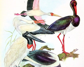 African Wood Ibis, Black Stork, White Stork, Jabiru, African Saddlebill - 1973 Vintage Bird Print - Encyclopedia Book Page - 10 x 7