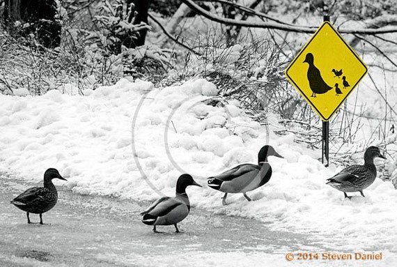 Ducks Crossing Humor Art Print, Duck Art, Ducks