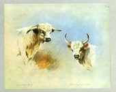 Chartley Bull, Chillingham Bull, Wild Cattle, Vintage Print, Thorburn Painting 1919, Plate 41, Natural History, Woodland, Frameable Art