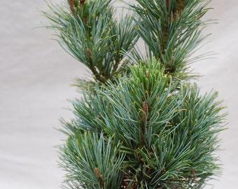 Pinus Pumila 'Dwarf'