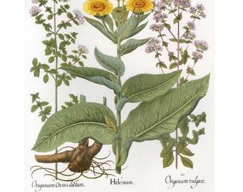 Besler Florilegium Botanical Oregano Print SALE~~Buy 3, get 1 free