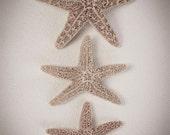 Starfish Natural History Photography. Nature art wall decor print- Nautical, Ocean, Animal , Sepia Brown, Shabby Chic- Three in a row
