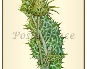 Milk Thistle ART CARD - antique botanical reproduction