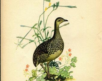 1942 Vintage Print of Birds Spotted Nothura, Ornithology, Retro Home Decor