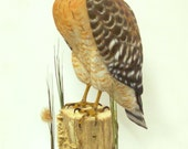 ON HOLD FOR P.H. Hand Carved Red Shouldered Hawk, Hawk Carving