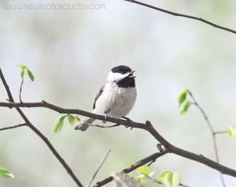 Animal Wall Art, Bird Photography, Chickadee Print, black white green, Cute Bird Wall Art, Wildlife Photo, Bird Nursery Decor, Office Art