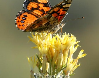 West Coast Lady Butterfly Photo, nature photography, orange butterfly on yellow flowers, southwestern home decor, fine art print