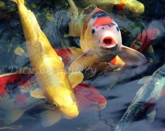 Koi Fish Photography, Nature Fine Art