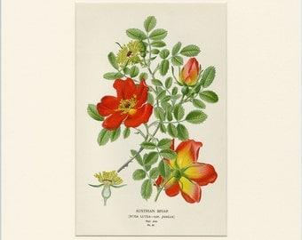 1896 Matted Antique Botanical Print Austrian Briar Flower By Edward Step Chromolithograph Vintage Wall Decor