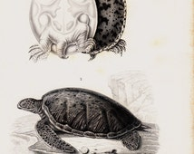 1849  TURTLE Antique turtle print. spiny softshell turtle and green sea turtle, very elegant fine lithograph