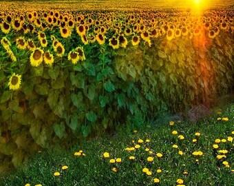 Sunflower Fields Photography Backdrop