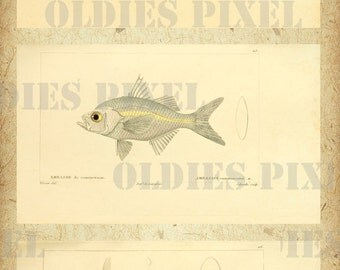 Fish Histoire naturelle des poissons Part 2 Hand Drawing Antique Book Digital Scan Instant Download JPG Illustration Art Design A008