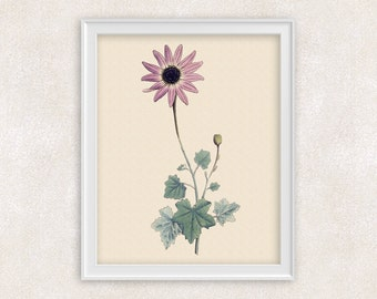 Pink Daisy Botanical Print - 8x10 PRINT Flower Art - Wall Art Prints - Antique Prints - Home Decor - Botanical Art Print -  Item #137