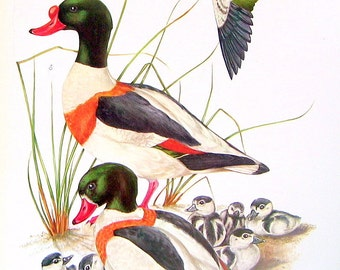 Bird Print - Ducks and Geese - 1973 Vintage Encyclopedia Book Page - 10 x 7