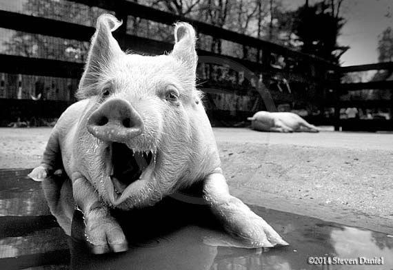Pig Art,Laughing Pig Photo, Funny Wall Art,Humor Photo