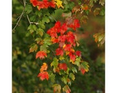 Red maple leaves fall photography, red and green decor, autumn colors wall art